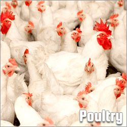 Poultry (42)